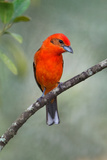 Flame-Colored Tanager (Piranga Bidentata)  Sarapiqui  Costa Rica
