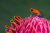 Strawberry Poison-Dart Frog (Oophaga Pumilio)  Sarapiqui  Costa Rica