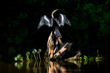 Anhinga (Anhinga Anhinga)  Pantanal Wetlands  Brazil