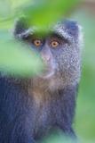 Blue Monkey (Cercopithecus Mitis)  Lake Manyara  Tanzania