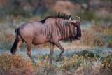 Wildebeest in a Field  Etosha National Park  Namibia
