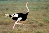 Masai Ostrich (Struthio Camelus) Running  Ndutu  Ngorongoro Conservation Area  Tanzania