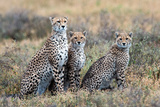 Cheetahs (Acinonyx Jubatus) in a Field  Ndutu  Ngorongoro Conservation Area  Tanzania