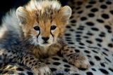 Close-Up of Cheetah (Acinonyx Jubatus) Cub  Ndutu  Ngorongoro Conservation Area  Tanzania