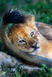 Close-Up of African Lion (Panthera Leo)  Ndutu  Ngorongoro Conservation Area  Tanzania