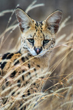 Close-Up of Serval (Leptailurus Serval)  Ndutu  Ngorongoro Conservation Area  Tanzania