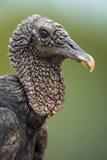 Black Vulture (Coragyps Atratus)  Pantanal Wetlands  Brazil
