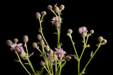 A Studio Portrait of a Canada Thistle  Cirsium Arvense