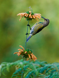 Malachite Sunbird (Nectarinia Famosa) Feeding on a Flower  Usambara Mountains  Tanzania