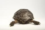 An Endangered Asian Forest Tortoise
