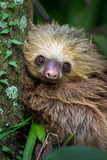 Two-Toed Sloth (Choloepus Didactylus)  Tortuguero  Costa Rica