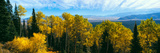 Aspen Trees in a Forest  Jackson Hole  Grand Teton National Park  Wyoming  Usa