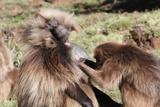 Gelada Baboons  Theropithecus Gelada