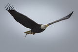 A Bald Eagle  Haliaeetus Leucocephalus  in Flight with a Just-Caught Fish