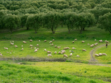 Sheep in Field  Moulay Yacoub Province  Fes-Boulemane  Morocco