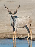 Greater Kudu (Tragelaphus Strepsiceros) at Waterhole  Etosha National Park  Namibia