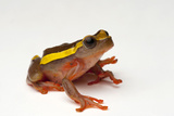 An Upper Amazon Tree Frog  Dendropsophus Bifurcus