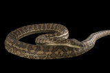A Southern Carpet Python  Morelia Spilota Imbricata  at the Wild Life Sydney Zoo