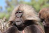 Gelada Baboon Portrait  Theropithecus Gelada