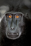 A Close Up Portrait of a Celebes Crested Macaque  Macaca Nigra