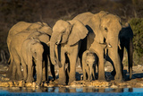 African Elephants (Loxodonta Africana) at Waterhole  Etosha National Park  Namibia