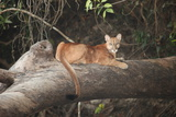 A Young Mountain Lion  Puma Concolor  Rests on a Fallen Tree