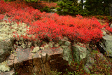 Black Huckleberry Shrubs in Autumn Foliage  Reindeer Moss and a Granite Outcrop