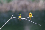 Two Little Bee Eaters  Merops Pusillus