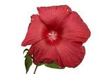 A Hibiscus Flower  Malvoideae Hibisceae