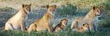 African Lion (Panthera Leo) Family in a Field  Ndutu  Ngorongoro Conservation Area  Tanzania