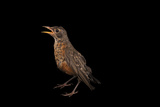 A Young Robin  Turdus Migratorius  in Lincoln  Nebraska