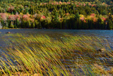 Windswept Rushes and Fall Foliage at Bubble Pond