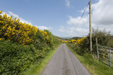 Gorse in Springtime Bloom Along a Rural Road in County Kerry  Ireland