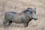 Warthog (Phacochoerus Africanus)  Tarangire National Park  Tanzania