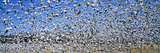 A Panoramic of Thousands of Migrating Snow Geese Taking Flight