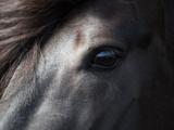 Icelandic Black Stallion  Iceland