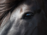 Icelandic Black Stallion, Iceland Reproduction d'art par Green Light Collection
