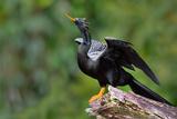 Anhinga (Anhinga Anhinga) Perching  Tortuguero  Costa Rica