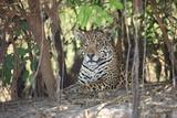 A Jaguar  Panthera Onca  Lies Among Undergrowth