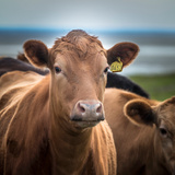Portrait of Cows Grazing  Iceland