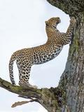 Leopard (Panthera Pardus) Climbing a Tree  Ndutu  Ngorongoro Conservation Area  Tanzania