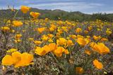 A Field of California Poppies  Eschscholzia Californica  California's State Flower