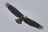 A Bald Eagle  Haliaeetus Leucocephalus  in Flight Searching for Fish Below the Conowingo Dam