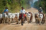 Cowboy Herding Cattle  Pantanal Wetlands  Brazil
