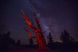 A Bristlecone Pine Photographed under Red Light and the Milky Way