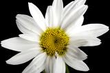 A Shasta Daisy  Leucanthemum X Superbum