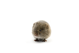 A Meadow Vole  Microtus Pennsylvanicus