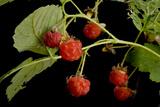 American Red Raspberries  Rubus Strigosus