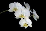 Moth Orchids  Phalaenopsis Aphrodite