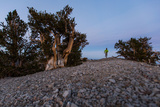 A Runner in a Bristlecone Pine Forest